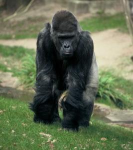 Gorilla_gorilla_gorilla_Nbg